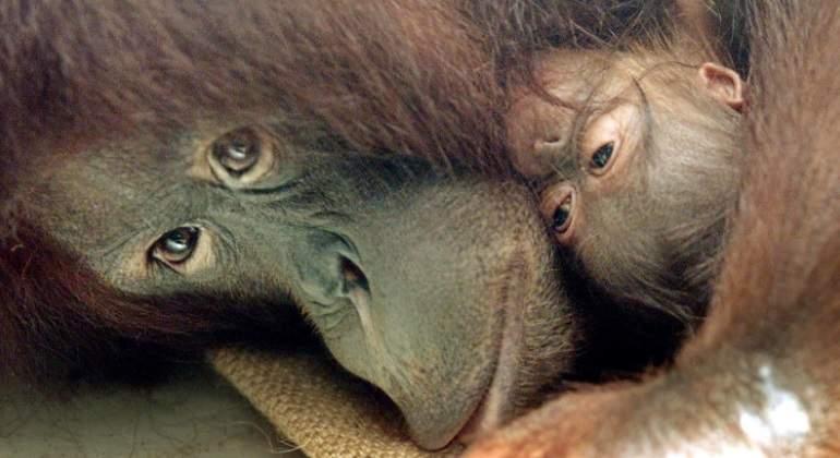 El fatal futuro de los primates: el ser humano puede extinguirlos en 50 años