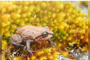 Descubren una nueva especie de rana en los Andes peruanos