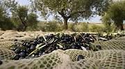 Deoleo avisa de que el 20% del olivar español está en riesgo de desaparecer