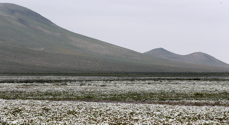 desierto-florido-atacama-chile-efe.png
