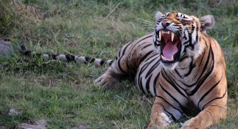 espiritu-salvaje-tigre.jpg
