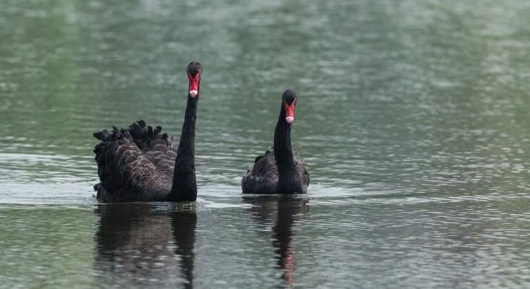 cisnes-negros-australia.jpg