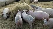 El mayor productor de carne de cerdo cierra su planta clave por coronavirus y alerta de una pronta escasez