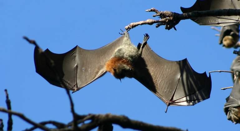 murcielagos-australia-wikipedia.jpg