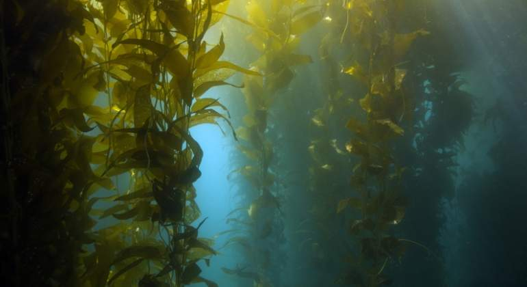 Un alga procedente del Caribe amenaza con conquistar el Estrecho