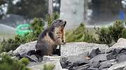 marmota-pestebubonica-china-efe.jpg