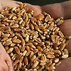 semillas-de-soja-getty.png