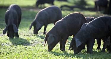 El Gobierno avala las inspecciones a ojo para certificar los cerdos ibéricos