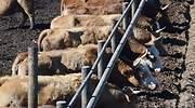 fabricas-vacas-Noamfein-Dreamstime.jpg