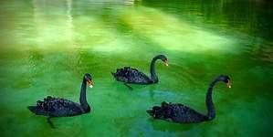 Los cisnes negros más raros que pueden condicionar 2017