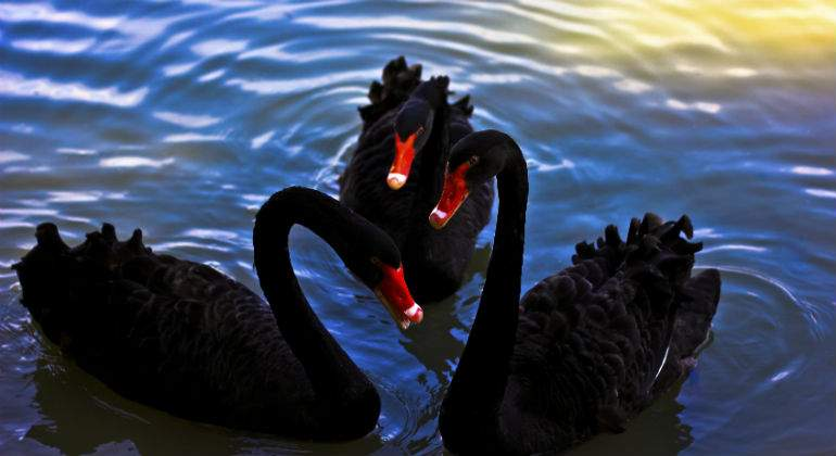 cisnes-negros-dreamstime.jpg