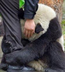 oso-panda250.jpg