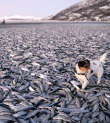 Miles de peces aparecen muertos en una playa de Noruega