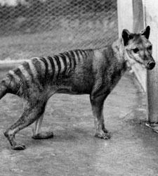 tigre-tasmania.jpg